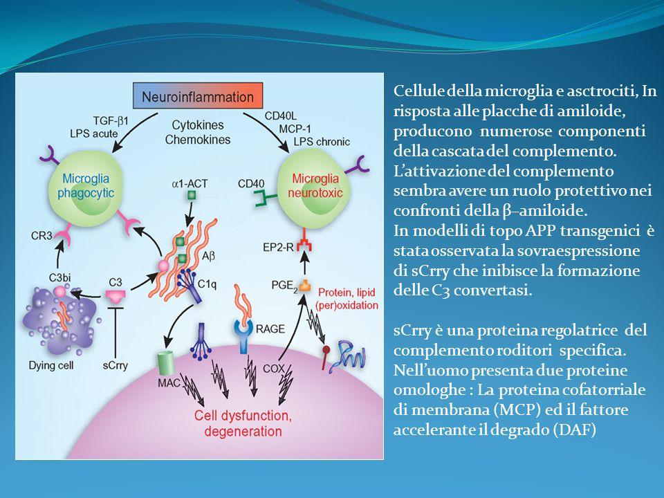 Cellule della microglia e asctrociti, In risposta alle placche di amiloide, producono numerose componenti della cascata del complemento. L'attivazione del complemento sembra avere un ruolo protettivo nei confronti della β–amiloide.