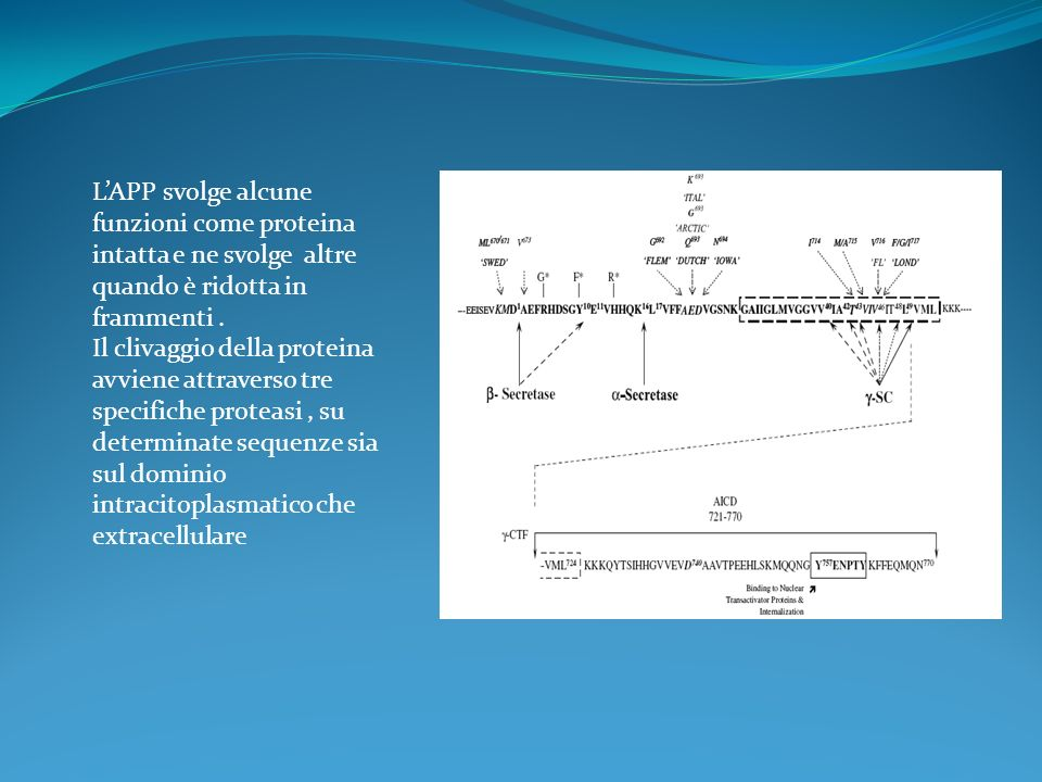 L'APP svolge alcune funzioni come proteina intatta e ne svolge altre quando è ridotta in frammenti .