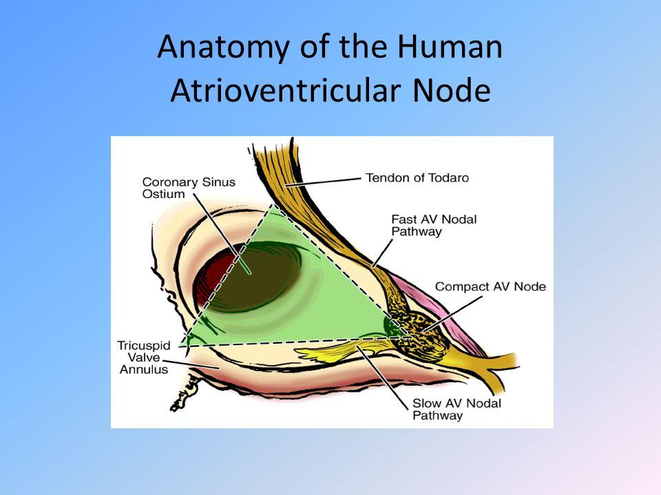 Anatomy of the Human Atrioventricular Node