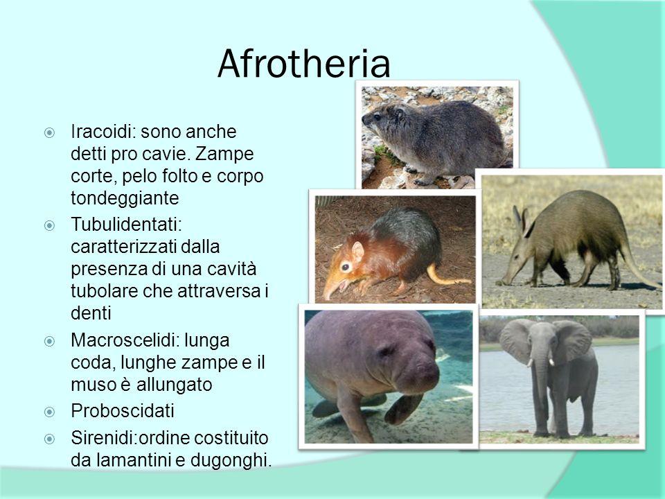 Afrotheria Iracoidi: sono anche detti pro cavie. Zampe corte, pelo folto e corpo tondeggiante.