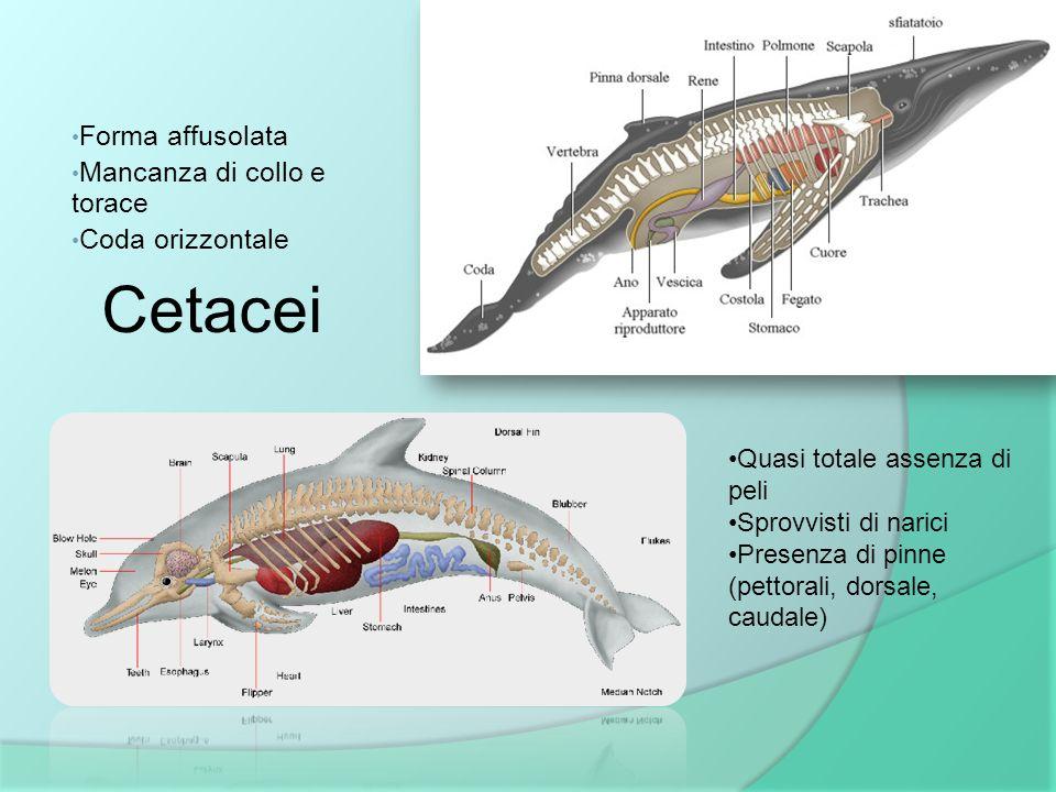 Cetacei Forma affusolata Mancanza di collo e torace Coda orizzontale