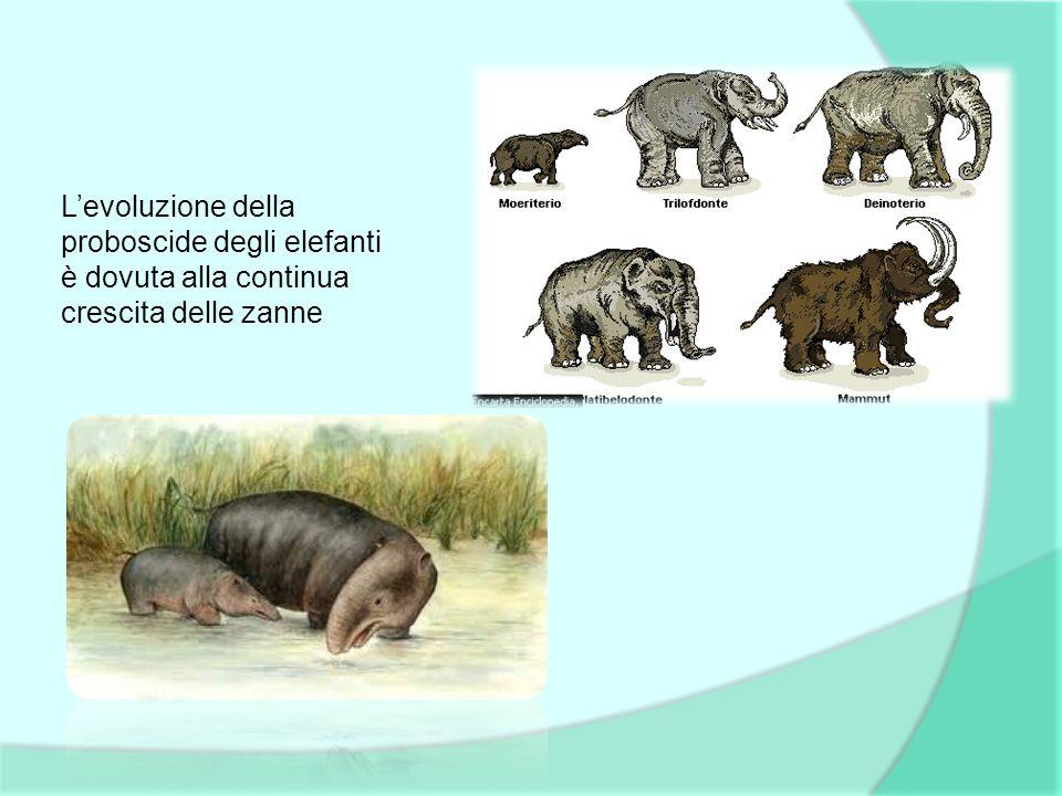 L'evoluzione della proboscide degli elefanti è dovuta alla continua crescita delle zanne