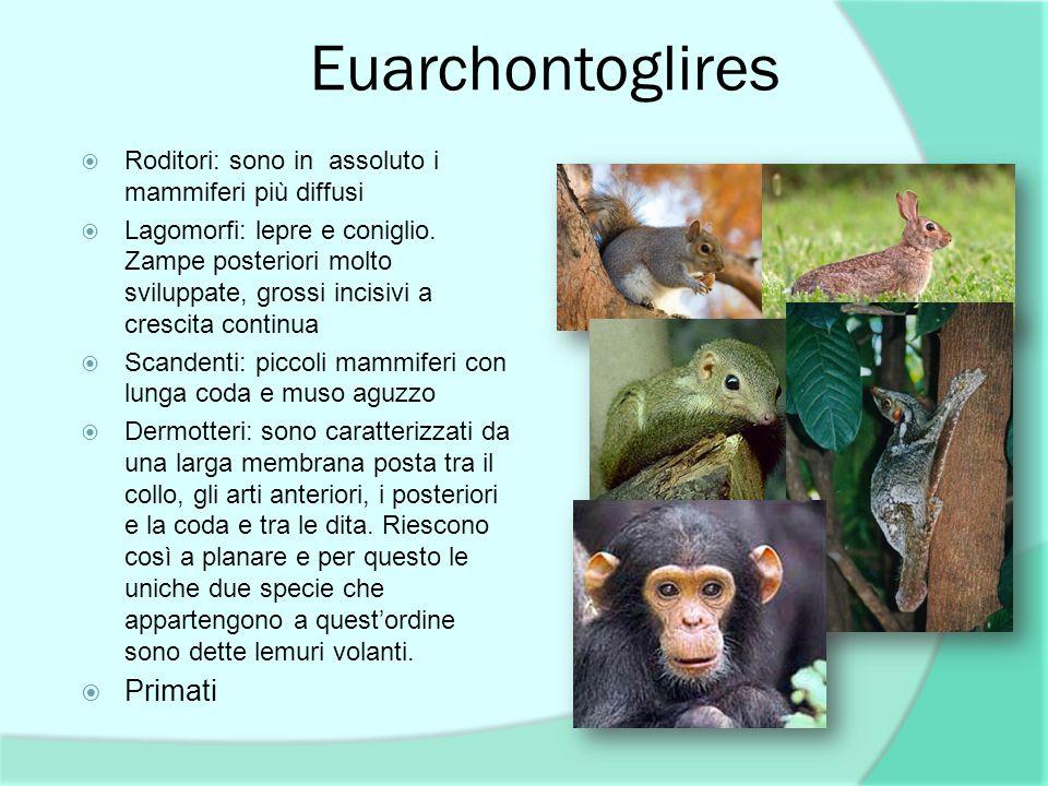 Euarchontoglires Primati