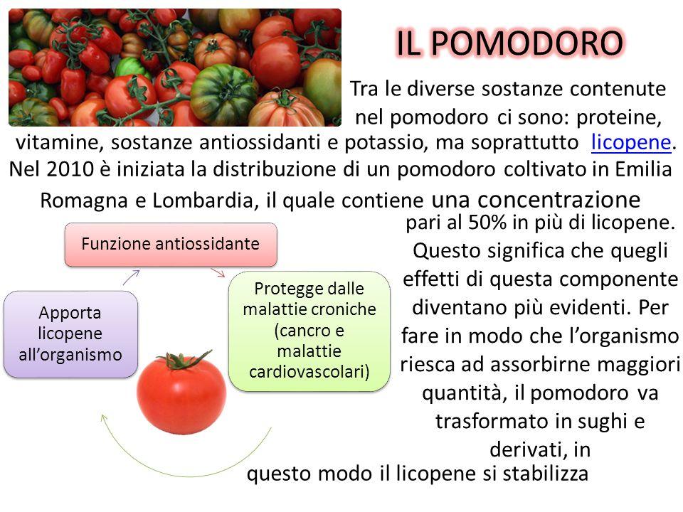 IL POMODORO Tra le diverse sostanze contenute nel pomodoro ci sono: proteine, vitamine, sostanze antiossidanti e potassio, ma soprattutto licopene.