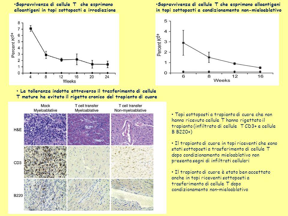 Sopravvivenza di cellule T che esprimono alloantigeni in topi sottoposti a irradiazione