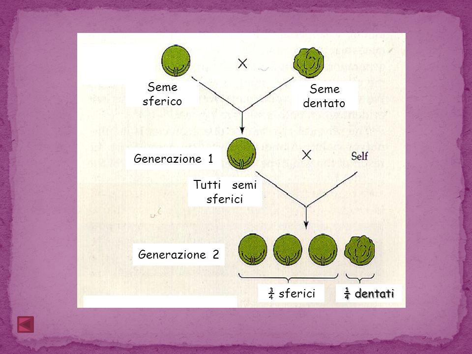 Seme sferico Seme dentato Generazione 1 Tutti semi sferici Generazione 2 ¾ sferici ¼ dentati