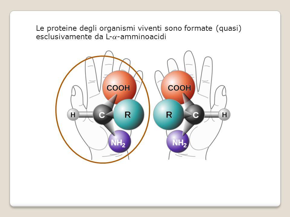 Le proteine degli organismi viventi sono formate (quasi) esclusivamente da L-a-amminoacidi