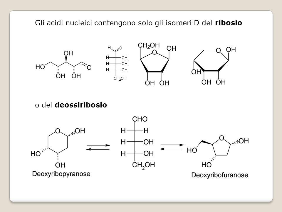 Gli acidi nucleici contengono solo gli isomeri D del ribosio