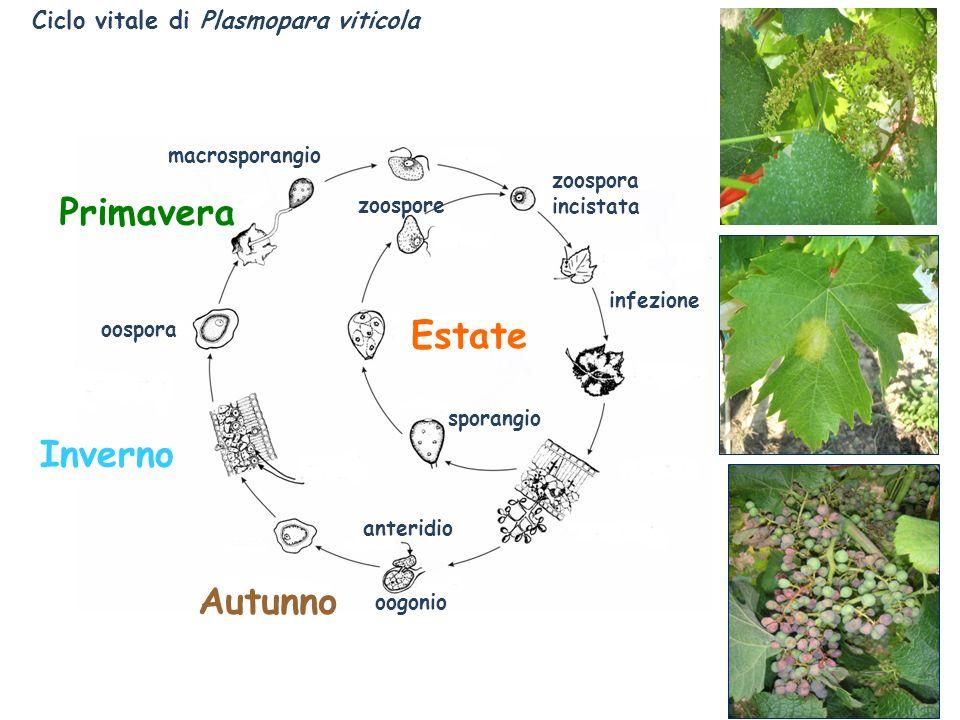 Primavera Estate Inverno Autunno Ciclo vitale di Plasmopara viticola