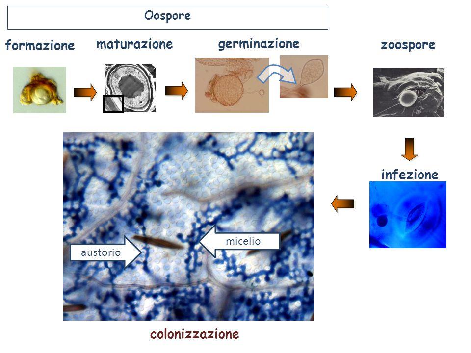 zoospore infezione germinazione maturazione formazione colonizzazione