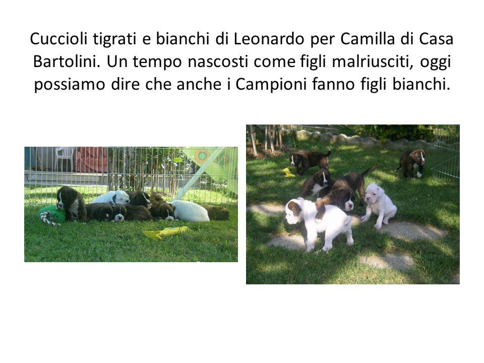 Cuccioli tigrati e bianchi di Leonardo per Camilla di Casa Bartolini