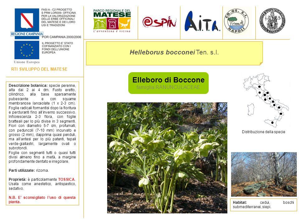 Elleboro di Boccone Helleborus bocconei Ten. s.l.