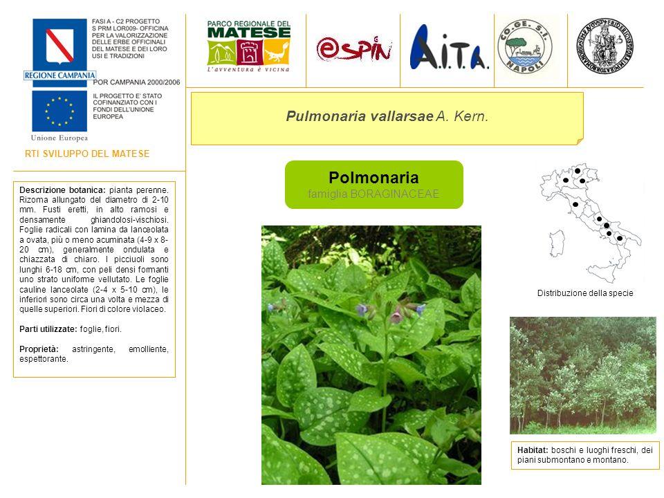 Polmonaria Pulmonaria vallarsae A. Kern. famiglia BORAGINACEAE