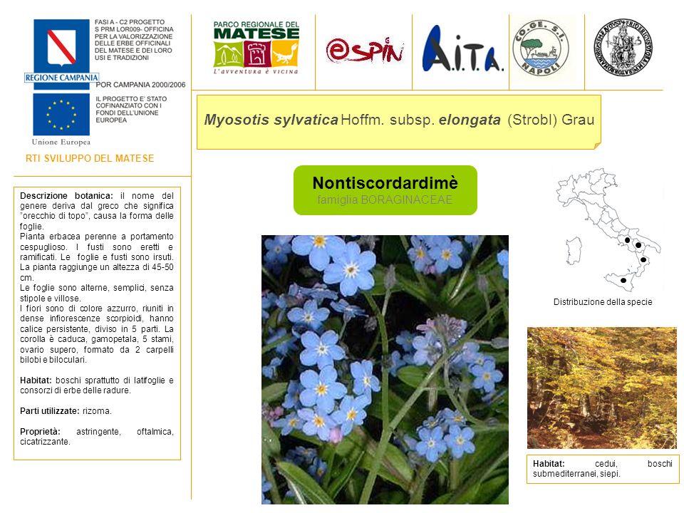 Myosotis sylvatica Hoffm. subsp. elongata (Strobl) Grau