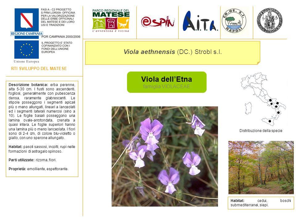 Viola aethnensis (DC.) Strobl s.l.