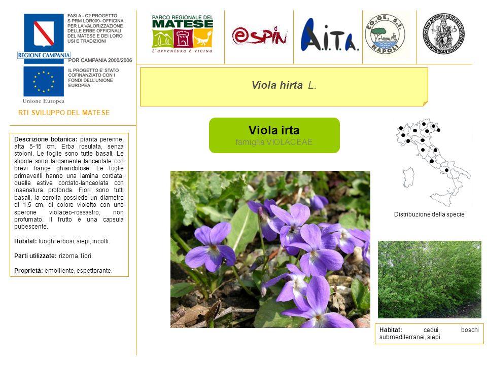 Viola irta Viola hirta L. famiglia VIOLACEAE RTI SVILUPPO DEL MATESE