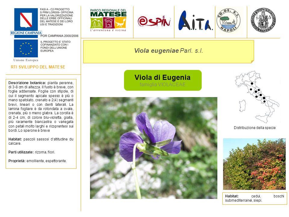 Viola di Eugenia Viola eugeniae Parl. s.l. famiglia VIOLACEAE