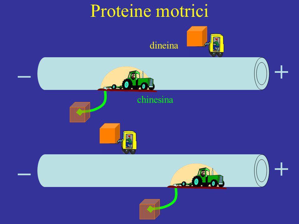 Proteine motrici dineina _ + chinesina _ +