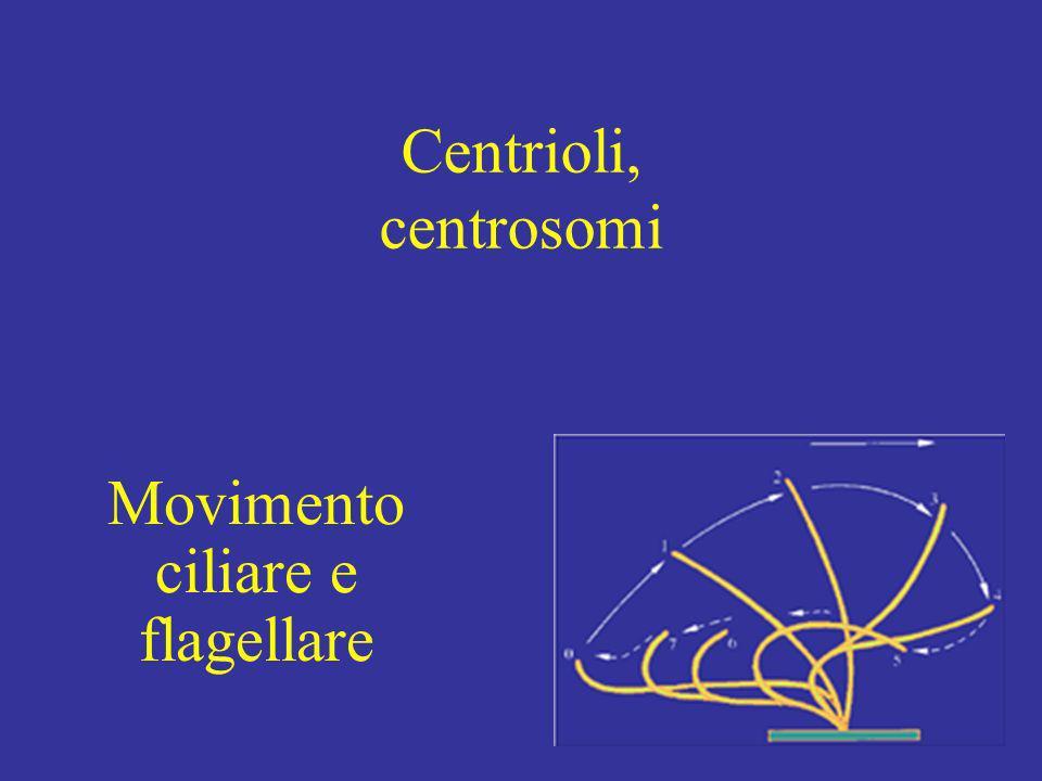 Movimento ciliare e flagellare