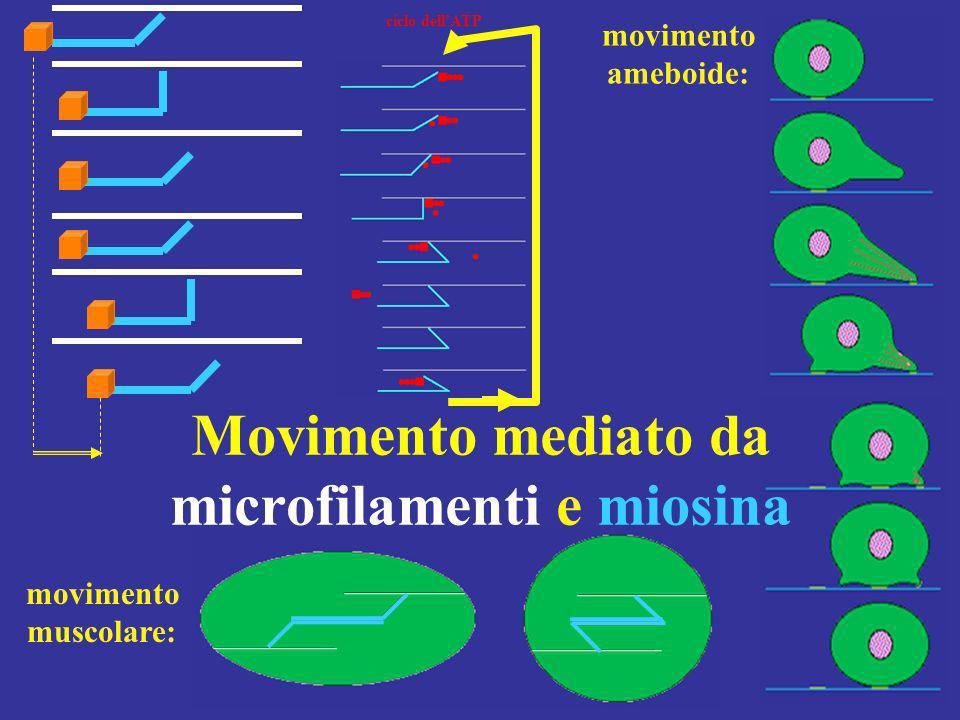 Movimento mediato da microfilamenti e miosina