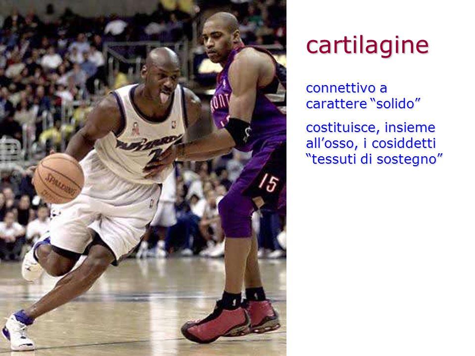 cartilagine connettivo a carattere solido