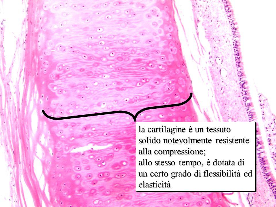 ialina 10x la cartilagine è un tessuto solido notevolmente resistente alla compressione;