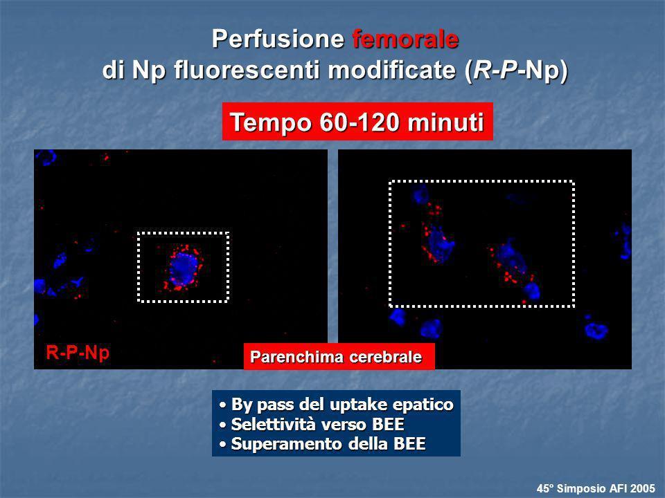 Perfusione femorale di Np fluorescenti modificate (R-P-Np)