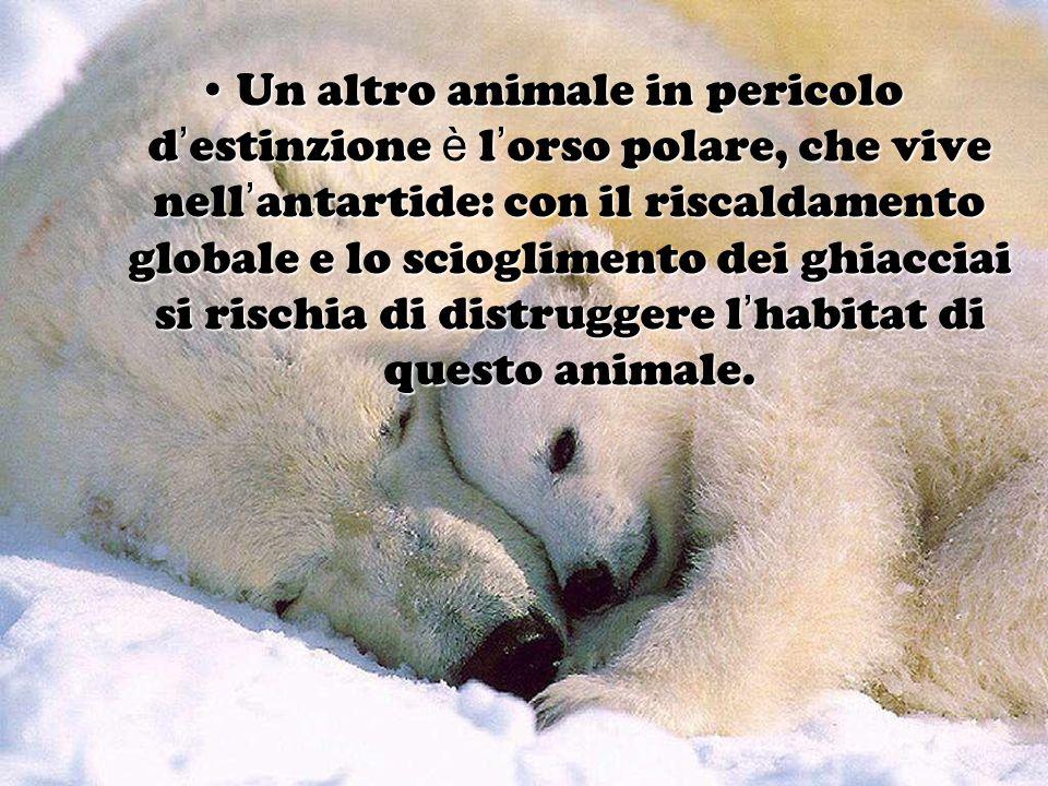 Un altro animale in pericolo d'estinzione è l'orso polare, che vive nell'antartide: con il riscaldamento globale e lo scioglimento dei ghiacciai si rischia di distruggere l'habitat di questo animale.