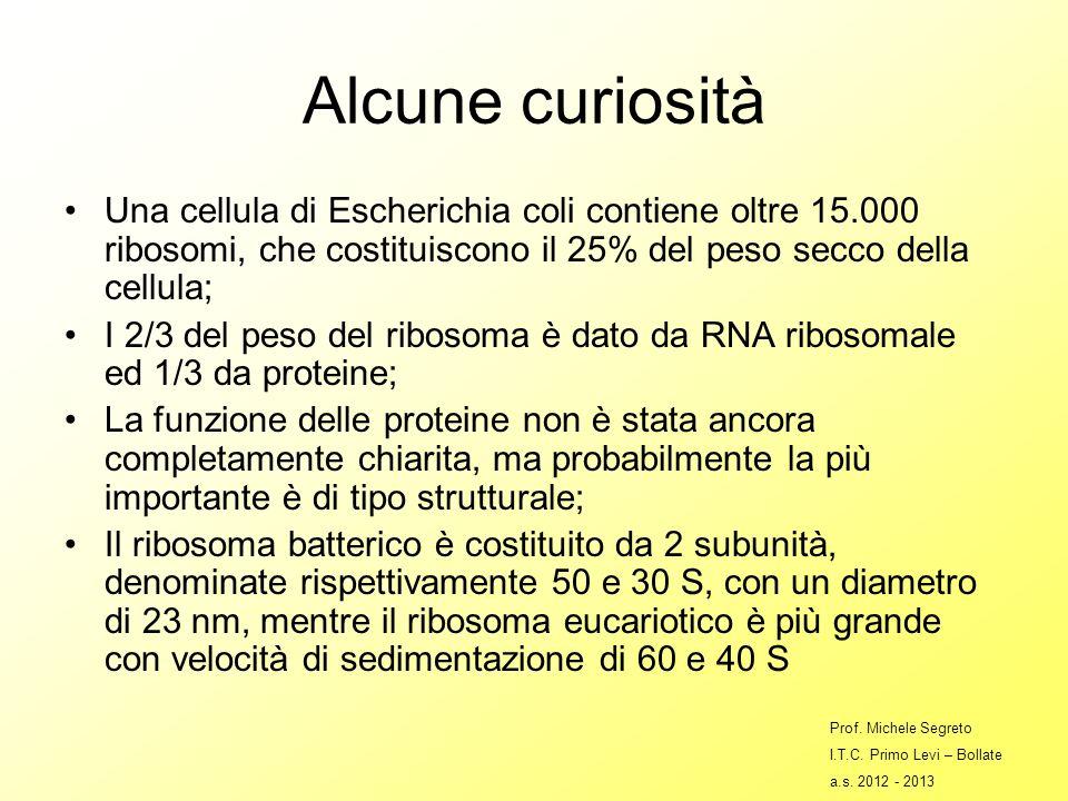 Alcune curiosità Una cellula di Escherichia coli contiene oltre 15.000 ribosomi, che costituiscono il 25% del peso secco della cellula;