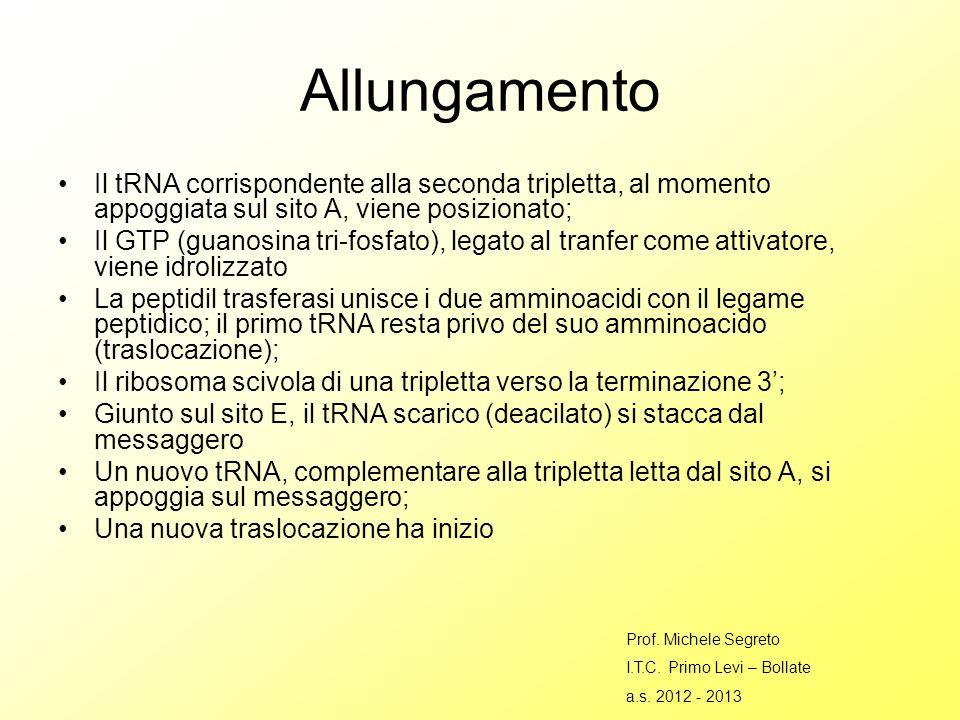 Allungamento Il tRNA corrispondente alla seconda tripletta, al momento appoggiata sul sito A, viene posizionato;