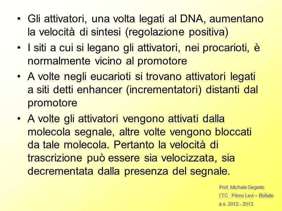 Gli attivatori, una volta legati al DNA, aumentano la velocità di sintesi (regolazione positiva)