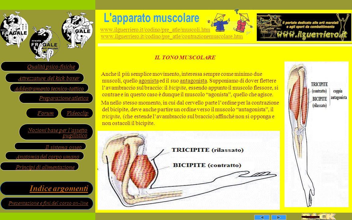 L apparato muscolare www.ilguerriero.it/codino/pre_atle/muscoli.htm