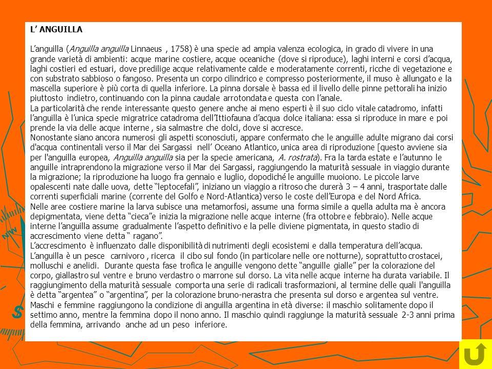 L' ANGUILLA L'anguilla (Anguilla anguilla Linnaeus , 1758) è una specie ad ampia valenza ecologica, in grado di vivere in una grande varietà di ambienti: acque marine costiere, acque oceaniche (dove si riproduce), laghi interni e corsi d'acqua, laghi costieri ed estuari, dove predilige acque relativamente calde e moderatamente correnti, ricche di vegetazione e con substrato sabbioso o fangoso.