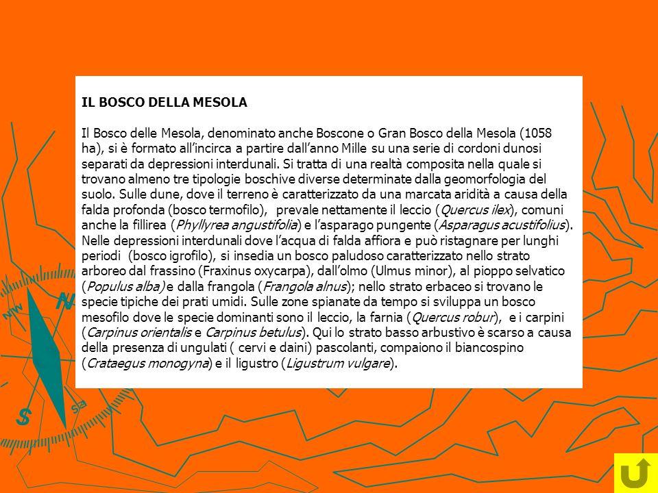 IL BOSCO DELLA MESOLA Il Bosco delle Mesola, denominato anche Boscone o Gran Bosco della Mesola (1058 ha), si è formato all'incirca a partire dall'anno Mille su una serie di cordoni dunosi separati da depressioni interdunali.