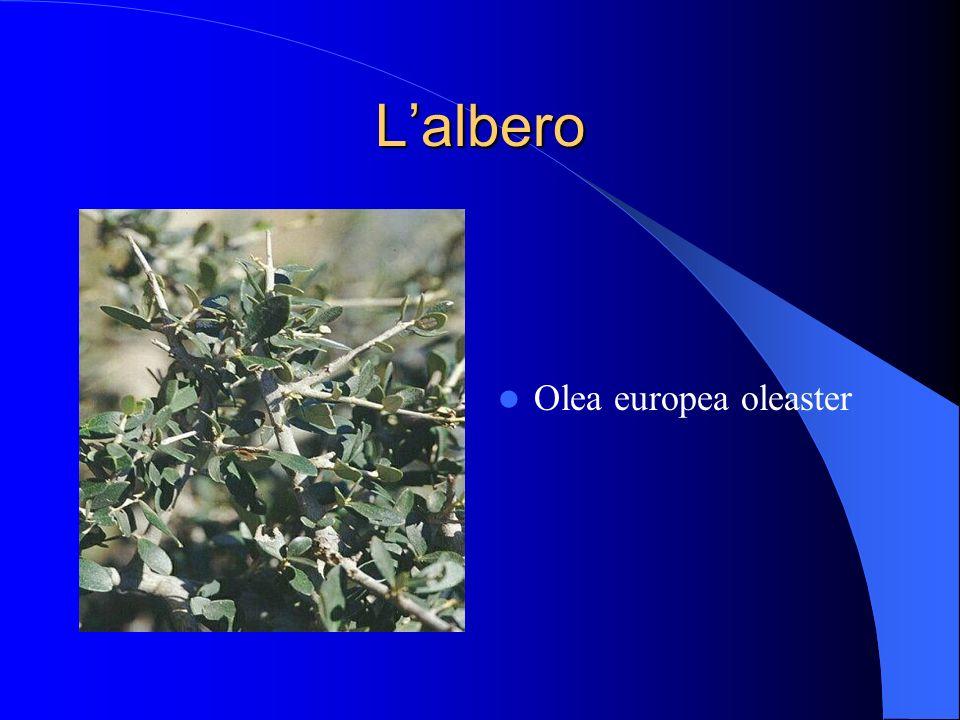 L'albero Olea europea oleaster