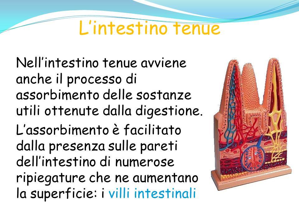 L'intestino tenue Nell'intestino tenue avviene anche il processo di assorbimento delle sostanze utili ottenute dalla digestione.