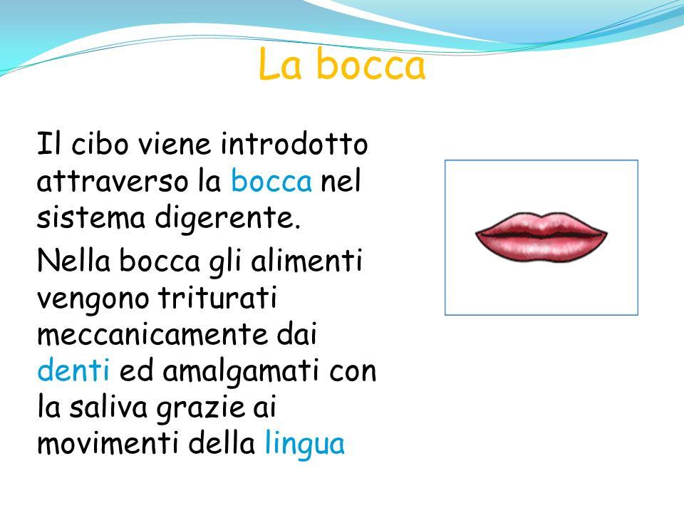 La bocca Il cibo viene introdotto attraverso la bocca nel sistema digerente.