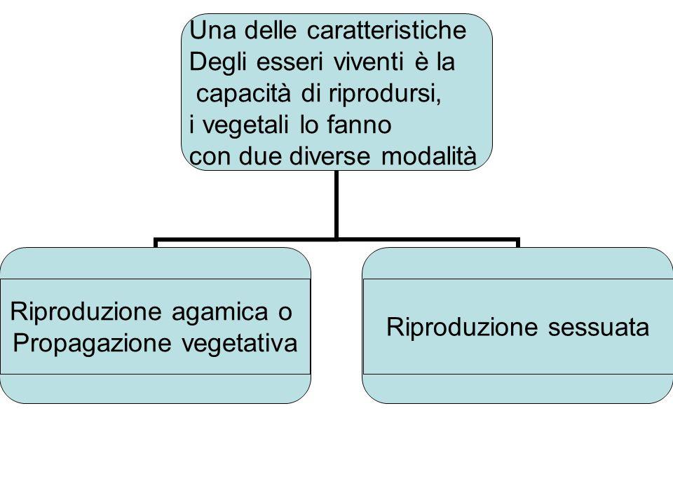 Riproduzione agamica o Propagazione vegetativa Riproduzione sessuata