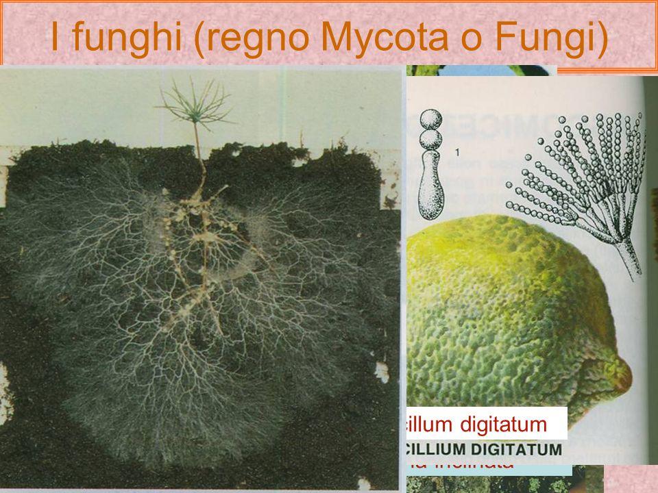 I funghi (regno Mycota o Fungi)