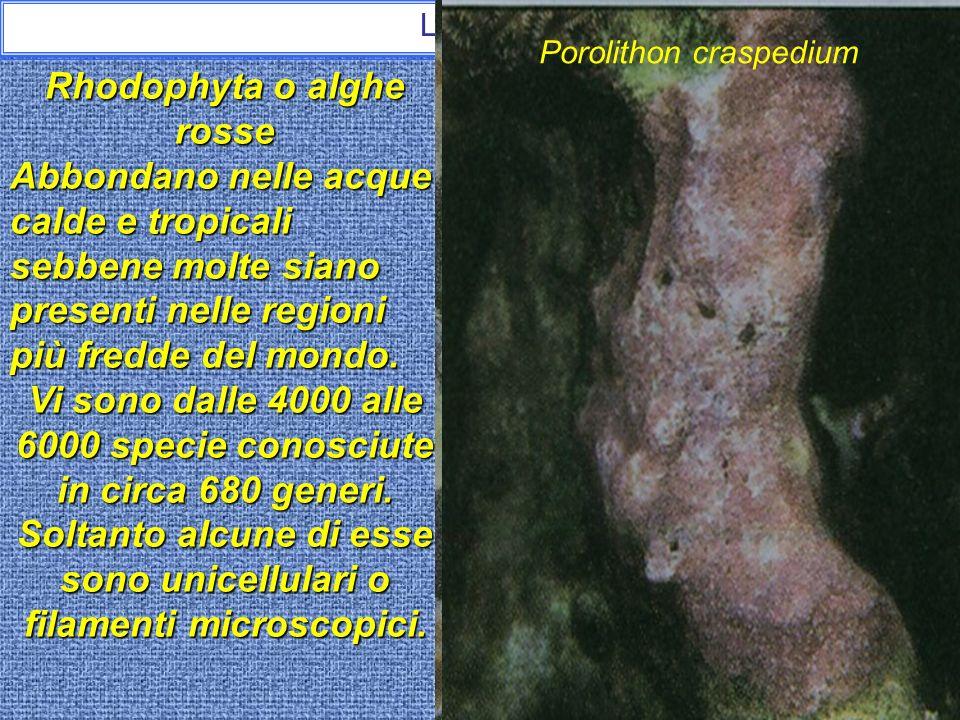 Rhodophyta o alghe rosse
