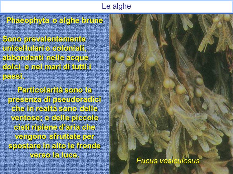 Phaeophyta o alghe brune