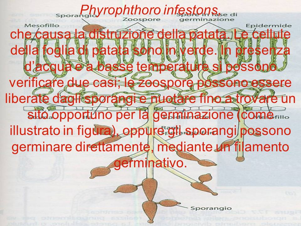 Phyrophthoro infestons,