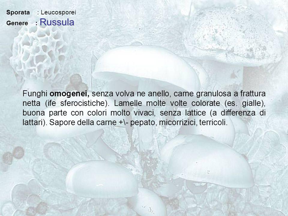 Sporata : Leucosporei Genere : Russula.