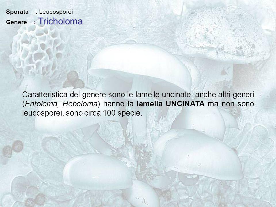Sporata : Leucosporei Genere : Tricholoma.