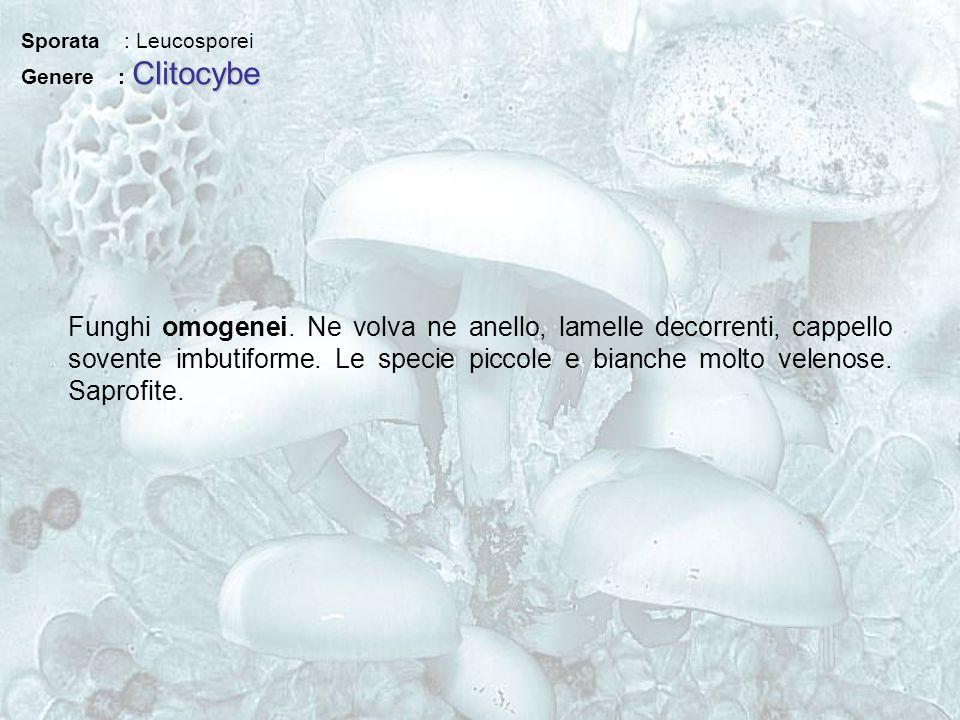 Sporata : Leucosporei Genere : Clitocybe.