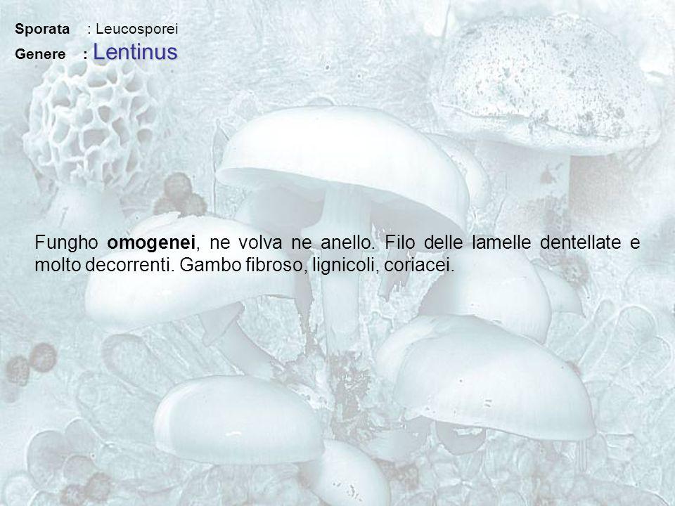 Sporata : Leucosporei Genere : Lentinus.