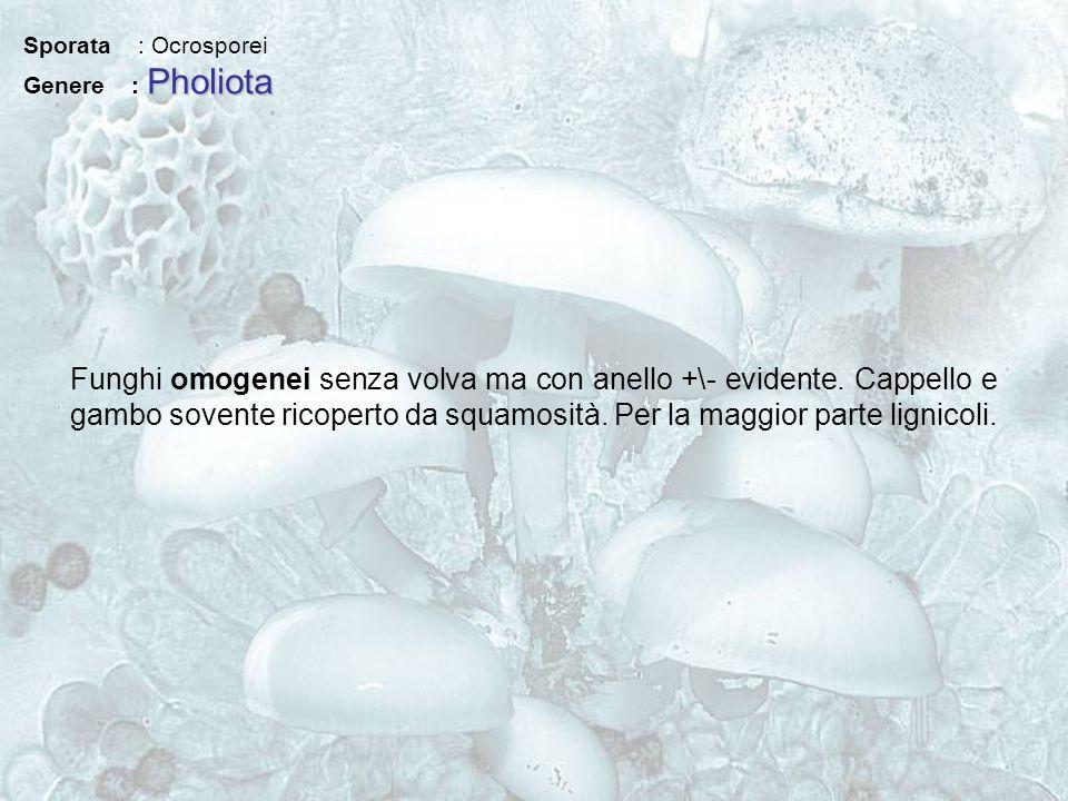 Sporata : Ocrosporei Genere : Pholiota.