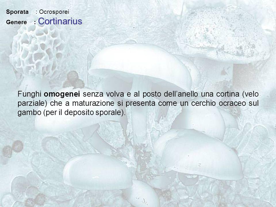 Sporata : Ocrosporei Genere : Cortinarius.