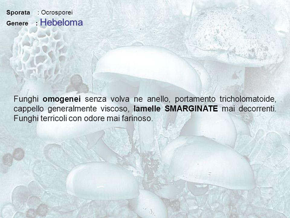 Sporata : Ocrosporei Genere : Hebeloma.