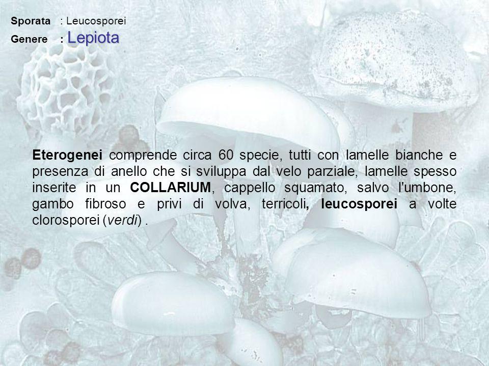 Sporata : Leucosporei Genere : Lepiota.